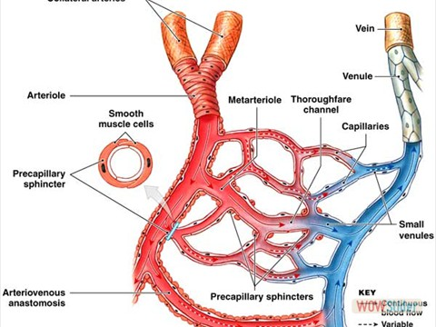 Microvascular and Hemorheological disorders during ischemic heart disease